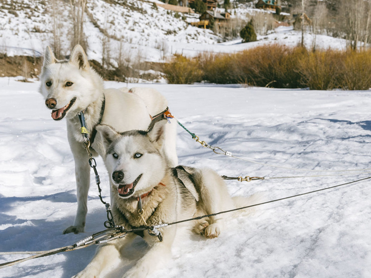 Sled dogs resting. Four things to do in Park City besides skiing.