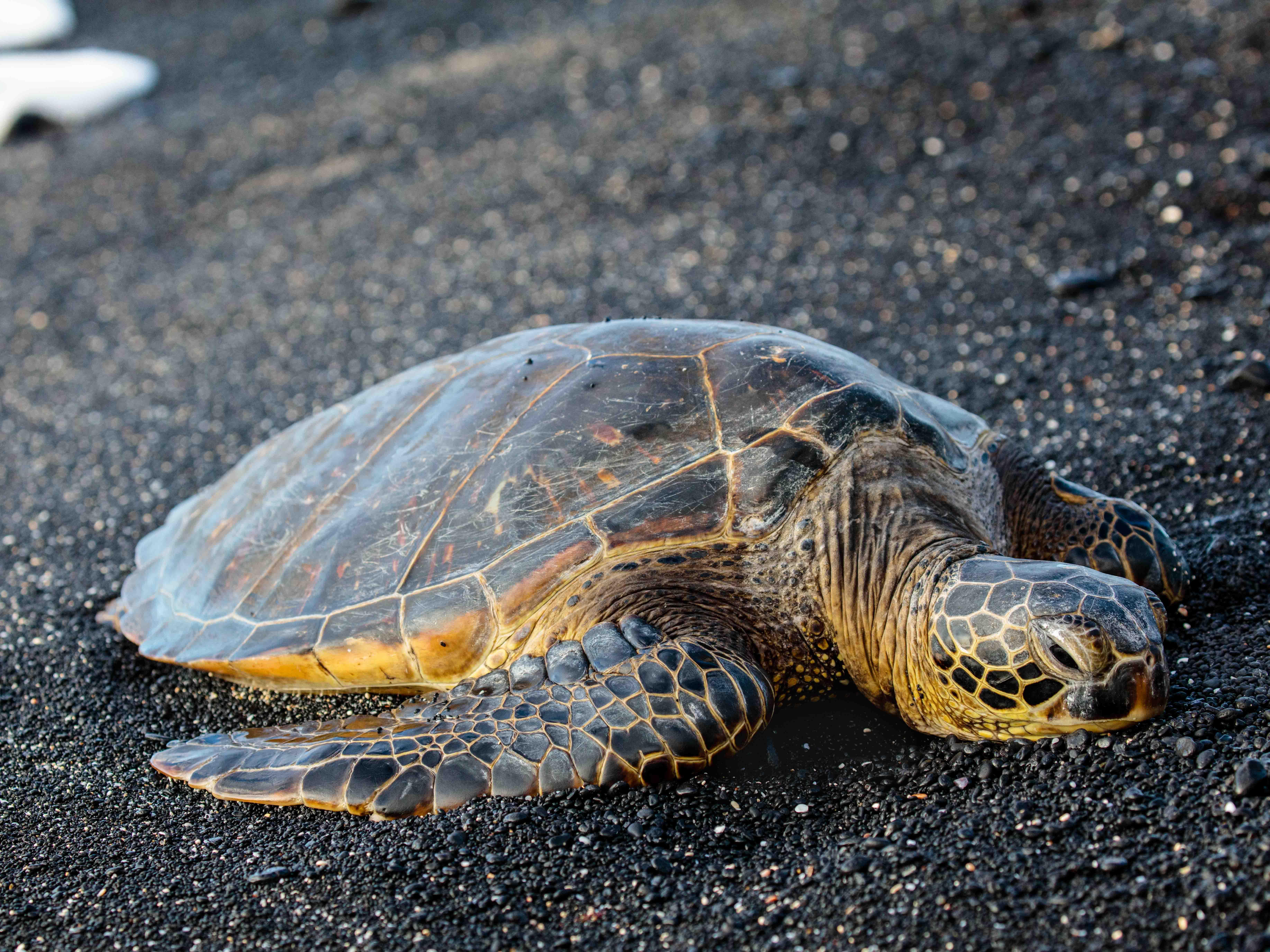 Marriott's Waikoloa Ocean Club Big Turtle, Black Sand. Marriott's Waikoloa Ocean Club is located in Waikoloa Beach, Big Island, Hawai'i United States.