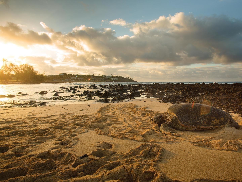 Marriott's Waiohai Beach Club Giant Turtle Sunbathing. Marriott's Waiohai Beach Club is located in Koloa, Kauai, Hawai'i United States.