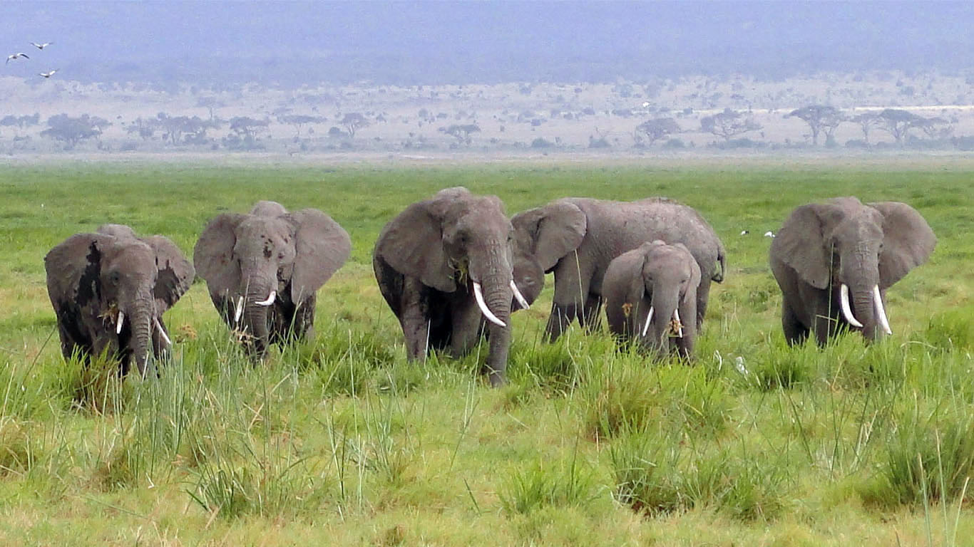 See a heard of elephants on the Plains of Africa in Kenya's wildlife safari.